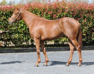 arqana-lot51-distortedhumor-filly